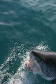 Wild shark — Stock Photo