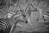 Group of african zebras — Foto de Stock