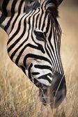 African zebra eating — Stock Photo