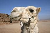Camel stare — Stock Photo