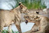 Lion love — Stockfoto