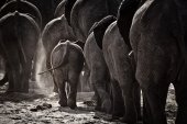 Elephants Walking home — Stock fotografie