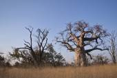 Baobabs — Photo