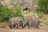 Elephant love — Stock Photo