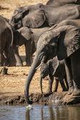 Elefanti nella savana africana — Foto Stock