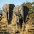 Big brothers elephants — Stock Photo #60941813