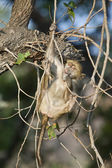 Monkey on the tree in Zimbabwe — Foto Stock