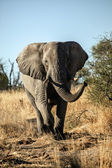 Elephant in the savannah of kenya — Stock Photo