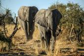 Big brothers elephants — Stock Photo