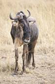 Antelope Gnu — Stock Photo