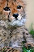 Cheetah cub — Stock Photo