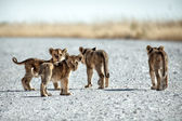 Cubs out and about. — Stock Photo