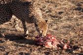 Eating cheetah. — Stock Photo