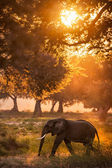 African elephant in light — Stock Photo