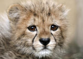 Baby Cheetah — Stock Photo