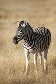 Wildlife found on Safari — Stock Photo