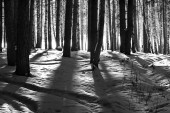 Black and white forest — Stock Photo