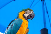 Blue-and-Yellow Macaw parrots — Stockfoto