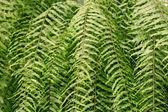Green leaf fern — Stock Photo