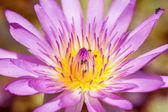Purple water lilies — Stock Photo