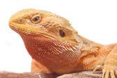 Portrait of a bearded agama. — Stock Photo