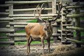 Deer eating — Stock Photo