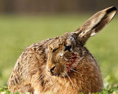 Blind hare — Stock Photo
