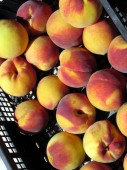 Peaches in box directly from a farmhouse in Tuscany, Italy — Stock Photo