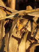 Ripe ear of corn at sunset — Stockfoto