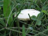 White mushroom on a green meadow — Stock Photo