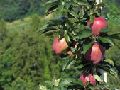 Czerwone jabłka na gałęzi drzewa — Zdjęcie stockowe
