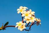Plumeria flower against blue sky — Stock Photo