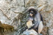 Young dusky langur in hug of mother — Stock Photo