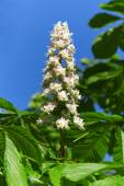 Chesnut flower — Stockfoto