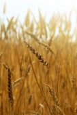 Wheat field, sunny day — Stock Photo