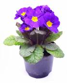 Beautiful purple primrose in a flowerpot isolated on white — Stock Photo
