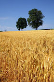 Field of grain with trees and blue sky — Stock Photo