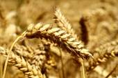 Wheat grains and cereals spike. Wheat isolated on white background. Wheat ears - close up image — Stock Photo