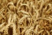Wheat on the field — Stock Photo