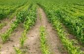 Campo de milho verde crescendo — Fotografia Stock