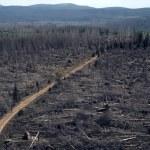 Dead trees in the Sumava National Park — Stock Photo #81267604