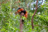 Red Panda sitting alone in a tree — Stock Photo