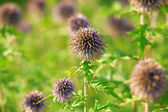 Thistles on a meadow — Stock Photo