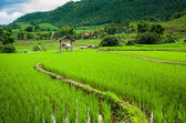 Fresh Terrace rice field  on mountain background — Stock Photo