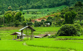 Fresh Terrace rice field  — Foto Stock