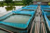 Nile tilapia fisk gårdar med blå net och bambu väg — Stockfoto