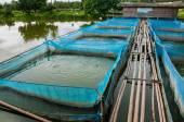 Nile tilapia viskwekerijen met blauwe net en bamboe pad — Stockfoto