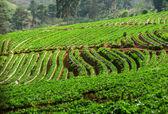 Strawberry plantation at Doi Ang Khang , Chiang Mai, Thailand — Stock Photo