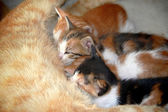Camada de tres gatos chupando — Foto de Stock