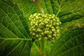 Buds of a plant — Stok fotoğraf